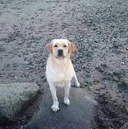 I have a Yellow Lab dog, who is very gentle and well trained - so you should love dogs
